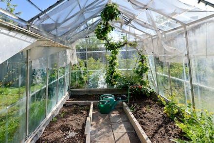 Invändigt i växthus med vinranka